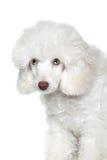 Retrato de un perrito blanco del caniche con los ojos verdes Foto de archivo