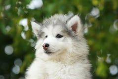 Retrato de un perrito blanco del Malamute Imagen de archivo