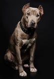 Retrato de un perrito del pitbull Foto de archivo libre de regalías