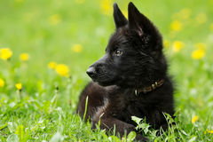 Retrato de un perrito hermoso del pastor alemán del color negro L Foto de archivo libre de regalías