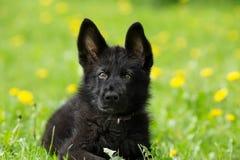 Retrato de un perrito hermoso del pastor alemán del color negro L Fotos de archivo