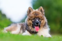 Retrato de un perrito lindo de Elo Fotos de archivo libres de regalías