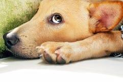 Retrato de un perro Fotos de archivo