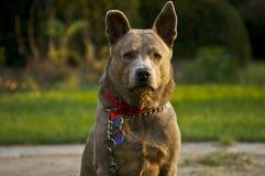 Retrato de un perro Foto de archivo libre de regalías