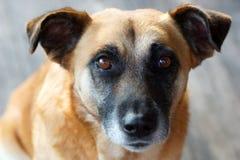 Retrato de un perro amarillo Foto de archivo libre de regalías