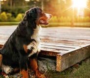 Retrato de un perro amistoso tranquilo en el jardín Foto de archivo