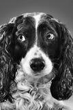 Retrato de un perro B&W foto de archivo libre de regalías