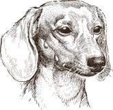 Retrato de un perro basset Imágenes de archivo libres de regalías
