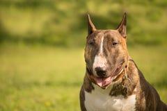 Retrato de un perro bull terrier con un fondo de la falta de definición de la hierba fotografía de archivo