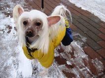 retrato de un perro chino con cresta de la raza hermosa del animal doméstico fotografía de archivo