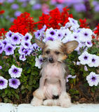 Retrato de un perro con cresta chino en la calle en flores Fotografía de archivo libre de regalías