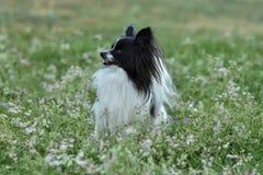 Retrato de un perro criado en línea pura de Papillon en la hierba fotografía de archivo
