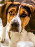 Retrato de un perro de caza Fotografía de archivo libre de regalías