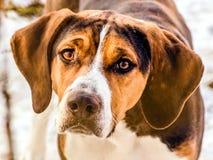 Retrato de un perro de caza Foto de archivo libre de regalías