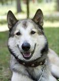 Retrato de un perro de la lucha Imagenes de archivo