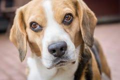 Retrato de un perro del beagle fotos de archivo