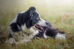retrato de un perro del border collie imagen de archivo
