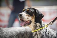 Retrato de un perro del organismo inglés fotografía de archivo