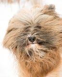 Retrato de un perro del terrier tibetano Fotografía de archivo libre de regalías