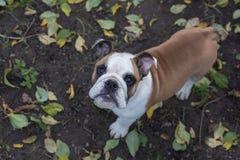 Retrato de un perro en el fondo de hojas caidas Imagen de archivo