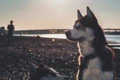 Retrato de un perro en la oscuridad, procesando para el instagram Vista lateral del husky siberiano imágenes de archivo libres de regalías