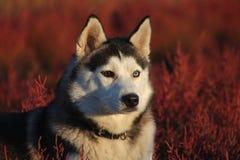 retrato de un perro esquimal en hierba púrpura-roja foto de archivo