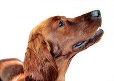 Retrato de un perro feliz aislado Fotos de archivo libres de regalías
