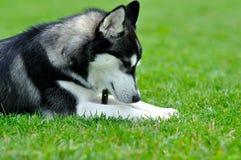 Retrato de un perro fornido Fotos de archivo libres de regalías
