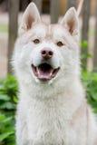 Retrato de un perro Gris fornido Foto de archivo libre de regalías