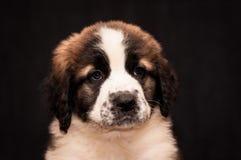 Retrato de un perro guardián de Moscú del perrito Fotografía de archivo