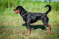Retrato de un perro de la raza un rottweiler en caminar Foto de archivo libre de regalías