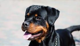 Retrato de un perro de la raza un rottweiler en caminar Imagenes de archivo