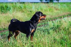 Retrato de un perro de la raza un rottweiler en caminar Foto de archivo