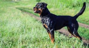 Retrato de un perro de la raza un rottweiler en caminar Fotos de archivo libres de regalías