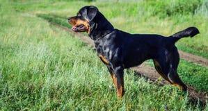 Retrato de un perro de la raza un rottweiler en caminar Imágenes de archivo libres de regalías