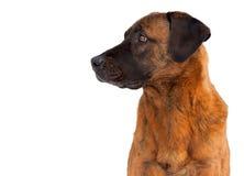 Retrato de un perro marrón Foto de archivo