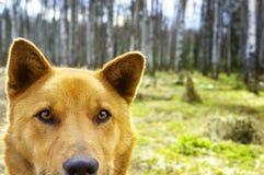 Retrato de un perro marrón feliz hermoso que sonríe en el campo, Lo Foto de archivo libre de regalías