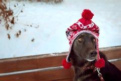 Retrato de un perro marrón grande en un sombrero rojo imagenes de archivo
