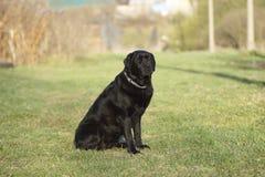 Retrato de un perro negro Fotografía de archivo