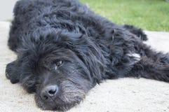 Retrato de un perro negro viejo y cansado que miente en el patio trasero Fotos de archivo
