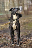 Retrato de un perro no criado en línea pura blanco y negro. Imagen de archivo libre de regalías
