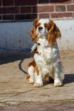 Retrato de un perro de rey Charles Cavalier en un correo fotos de archivo