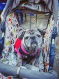 Retrato de un perro viejo del barro amasado que se sienta en una silla de ruedas, pareciendo un ojo triste imagen de archivo libre de regalías
