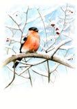 Retrato de un piñonero en las ramas nevosas Acuarela del piñonero Pájaro en una rama Foto de archivo libre de regalías
