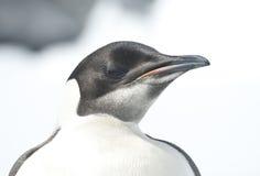 Retrato de un pingüino de emperador joven en un día brillante. fotografía de archivo libre de regalías