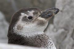 Retrato de un pingüino de Magellanic que muda entre las rocas foto de archivo