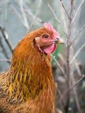 Retrato de un pollo marrón en un closeup_ del jardín imágenes de archivo libres de regalías