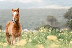Retrato de un potro joven en un campo floreciente fotografía de archivo
