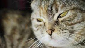 Retrato de un primer del gato de gato atigrado almacen de metraje de vídeo