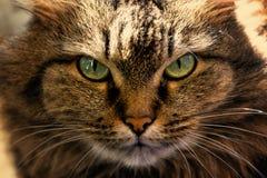 Retrato de un primer del gato Bozal del ` s del gato con los ojos verdes claros hermosos Foto de archivo libre de regalías
